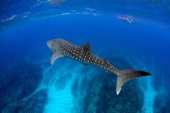 Água azul de tubarão de baleia Imagens de Stock