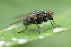 Água bebendo da mosca Fotografia de Stock