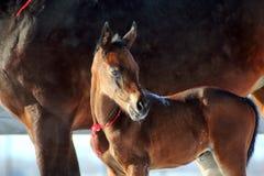Égua com potro Fotos de Stock