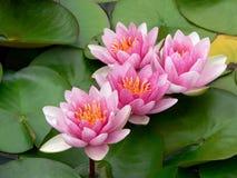 Água cor-de-rosa Lillies Fotos de Stock