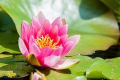 Água cor-de-rosa lilly Fotos de Stock Royalty Free