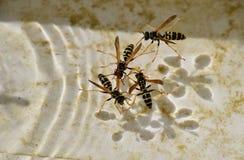 ?gua da bebida do Polistes das vespas imagens de stock royalty free