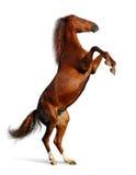 Égua do Sorrel Fotos de Stock Royalty Free