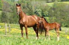 Égua e filhote Imagem de Stock Royalty Free
