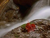 Água e folha vermelha Fotos de Stock Royalty Free