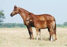 Égua e potro da castanha Foto de Stock Royalty Free