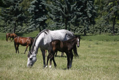Égua e potro do puro-sangue no pasto depois da mãe Fotografia de Stock