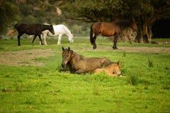 Égua e seu potro Imagem de Stock