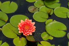 Água lilly Imagens de Stock