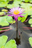 Água lilly Fotos de Stock