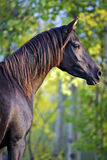 Égua árabe preta Fotografia de Stock
