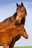 Égua vermelha com potro Fotografia de Stock Royalty Free