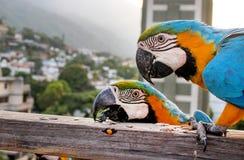 Guacamayas Fotografia Stock Libera da Diritti