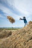 GUADAGNI DI RISAIA DI AGRICOLTURA DELLA TAILANDIA CHIANG RAI Immagini Stock Libere da Diritti