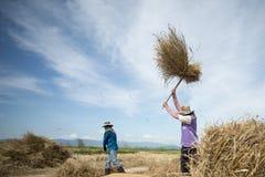 GUADAGNI DI RISAIA DI AGRICOLTURA DELLA TAILANDIA CHIANG RAI Immagine Stock Libera da Diritti