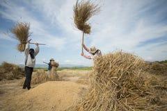 GUADAGNI DI RISAIA DI AGRICOLTURA DELLA TAILANDIA CHIANG RAI Fotografia Stock Libera da Diritti