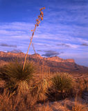 Guadalupe Mountains Ridge. Desert plants & the Guadalupe Mountains in West Texas Stock Image