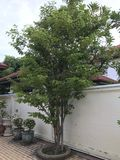 Guaiacum officinale ή δέντρο Guaiacwood Στοκ Εικόνα
