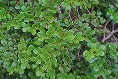 Guaiacwood, espèces d'arbre dans la famille de caltrop Image stock