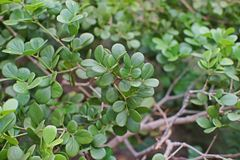 Guaiacwood, species of tree in the caltrop family. Native to the Caribbean and South America Royalty Free Stock Images