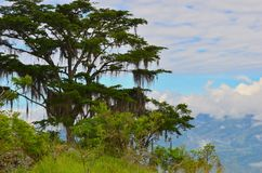 Guaimaro tree with clouds and valley in background.