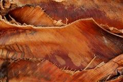 Guaina della foglia di Brown Fotografia Stock