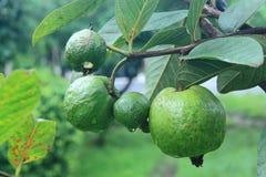Guajava auf Baum im Garten Lizenzfreie Stockfotos
