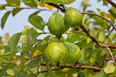 Guajava-Frucht Lizenzfreies Stockfoto