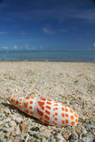 Guam beach seashell. Close up of an orange spotted cone shell with the ocean as background from a beach in Guam USA Stock Photos