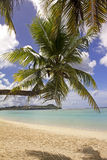 Guam bent coconut tree Royalty Free Stock Photography