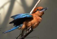 Guam Kingfisher - Micronesian Kingfisher Todiramphus Cinnamominus Stock Photo