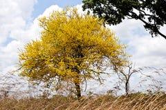 Guamacho tree. The `Guamacho` tree Pereskia Guamacho, grows as a small tree in semiarid and arid coastal regions and inland in the wet savannas of de Llanos of Stock Photo