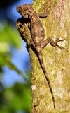 Guamuhaya d'Anolis (Chamaeleolis) (Escambray Anole barbu) Photographie stock libre de droits