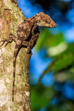 Guamuhaya d'Anolis (Chamaeleolis) (Escambray Anole barbu) Images stock