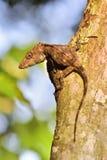 Guamuhaya d'Anolis (Chamaeleolis) (Escambray Anole barbu) Photographie stock