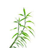 Guan bamboo on white background. Stock Photo