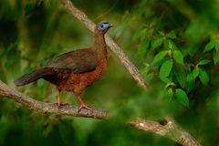 Guan Faixa-atado, argyrotis de Penélope, pássaro raro da montanha escura de Santa Marta da floresta, Colômbia Birdwatching em Ámé fotos de stock royalty free
