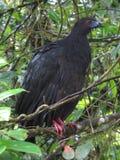 Guan noir Image libre de droits