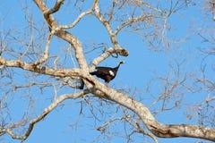 Guan sifflant commun, pipile de Pipile, scène animale de faune de nature Observation des oiseaux en Amérique du Sud, Pantanal Bré Photos libres de droits