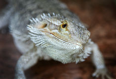 Guana Royalty Free Stock Image