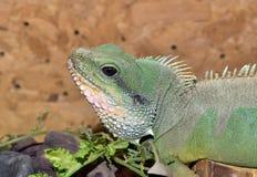Guana Foto de Stock Royalty Free