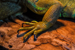 Guana lizard Royalty Free Stock Photography