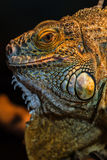 Guana lizard Royalty Free Stock Images