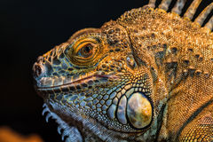 Guana lizard Stock Images