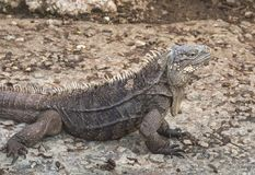 Guana ordinary, in natural conditions royalty free stock photography