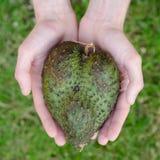 Guanabana心脏形式供以人员在绿草背景正方形的手 图库摄影