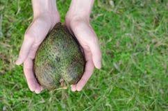 Guanabana心脏形式供以人员在绿草背景的手 免版税库存图片