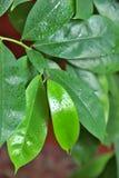 Guanabana-τροπικό δέντρο στο σπίτι στοκ εικόνες
