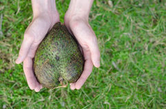 Guanabana heart form in mans hands on green grass background Royalty Free Stock Images