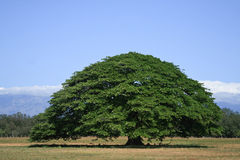 Guanacaste Tree Stock Photography